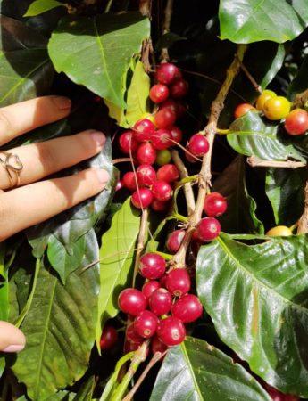 1_Panama-Finca-Hortigal-6-min-345x450