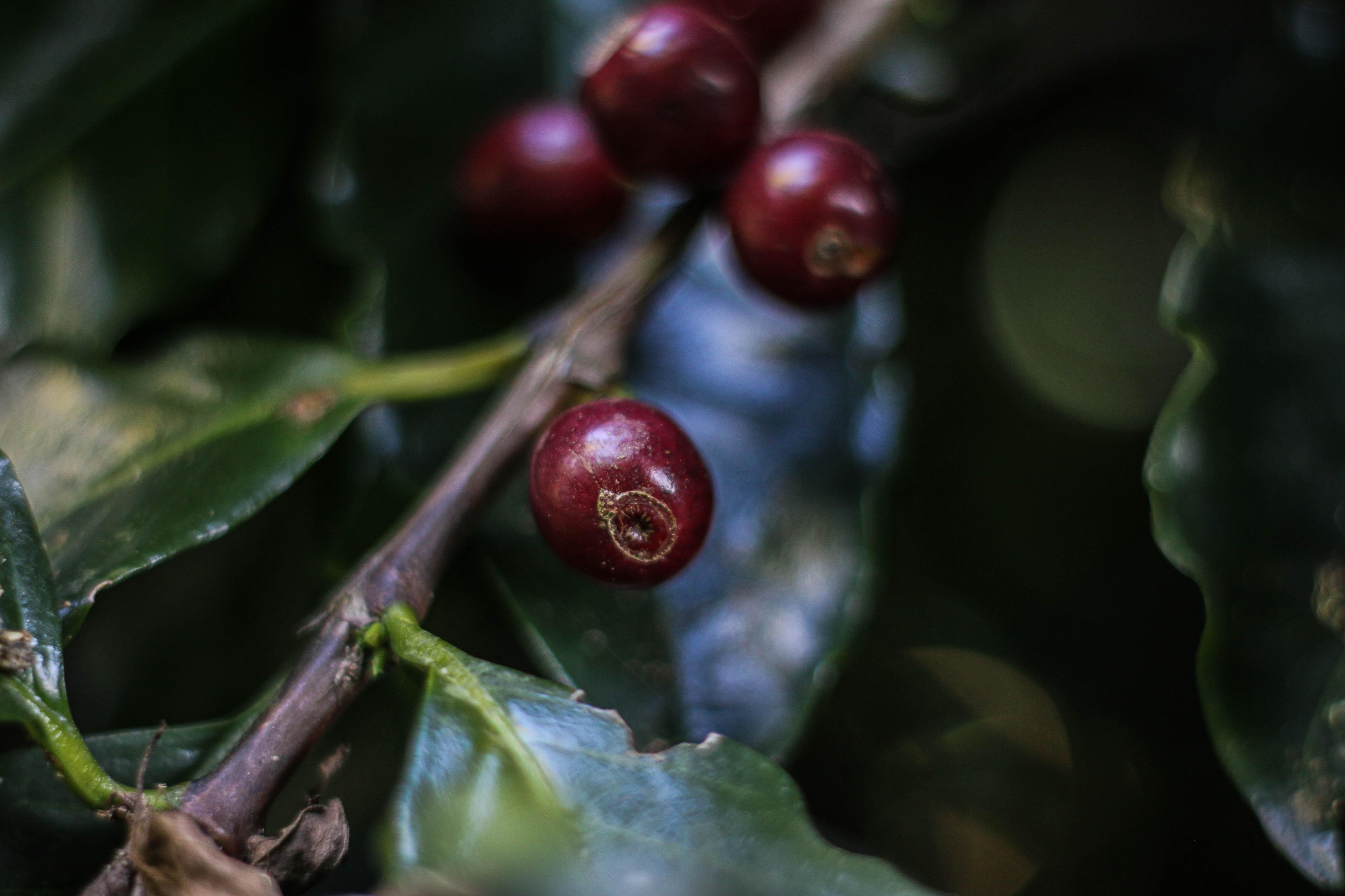 Bourboun Coffees - Araponga 0820-643