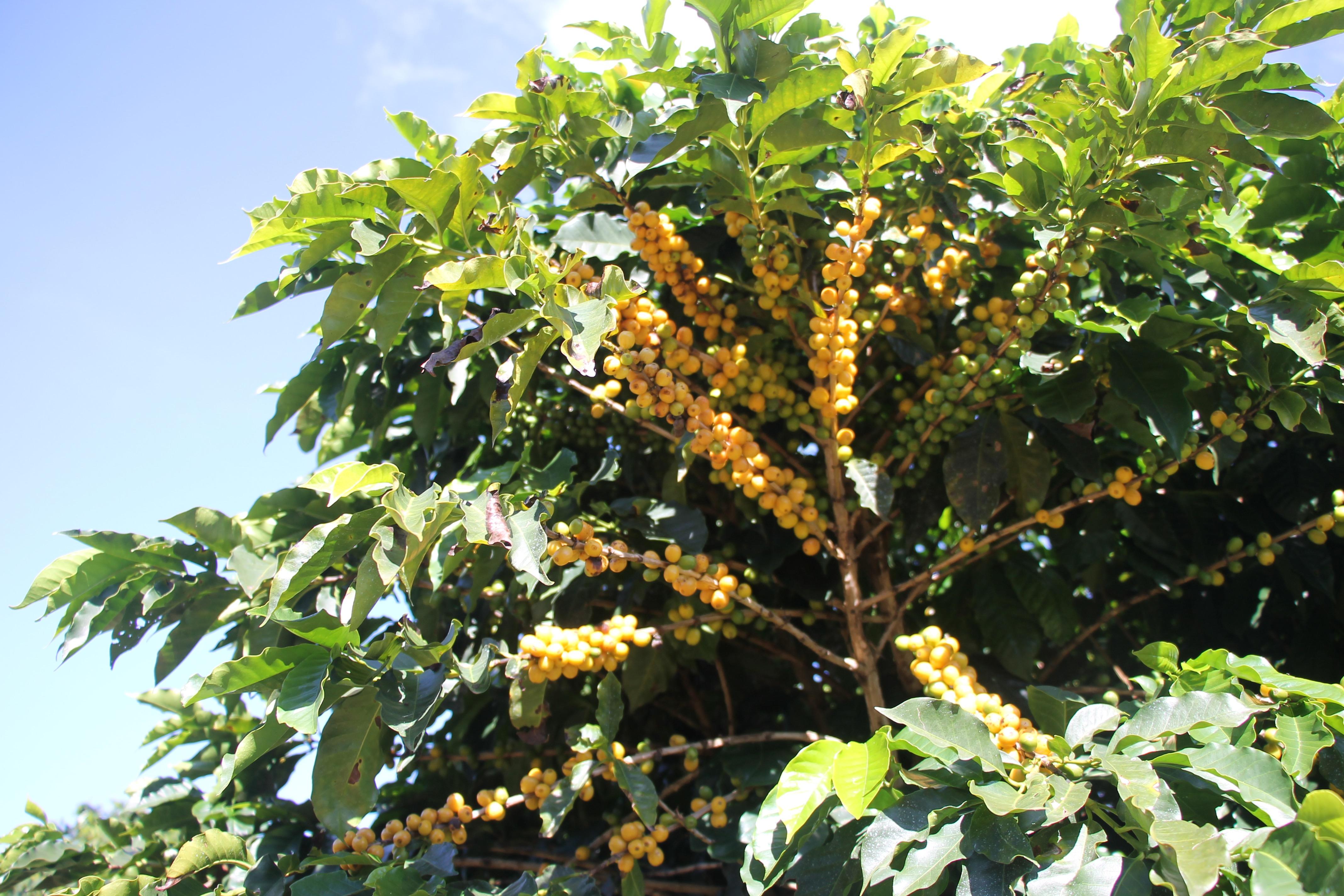 Brazil-Fazenda-Rainha-YellowBourbon-05