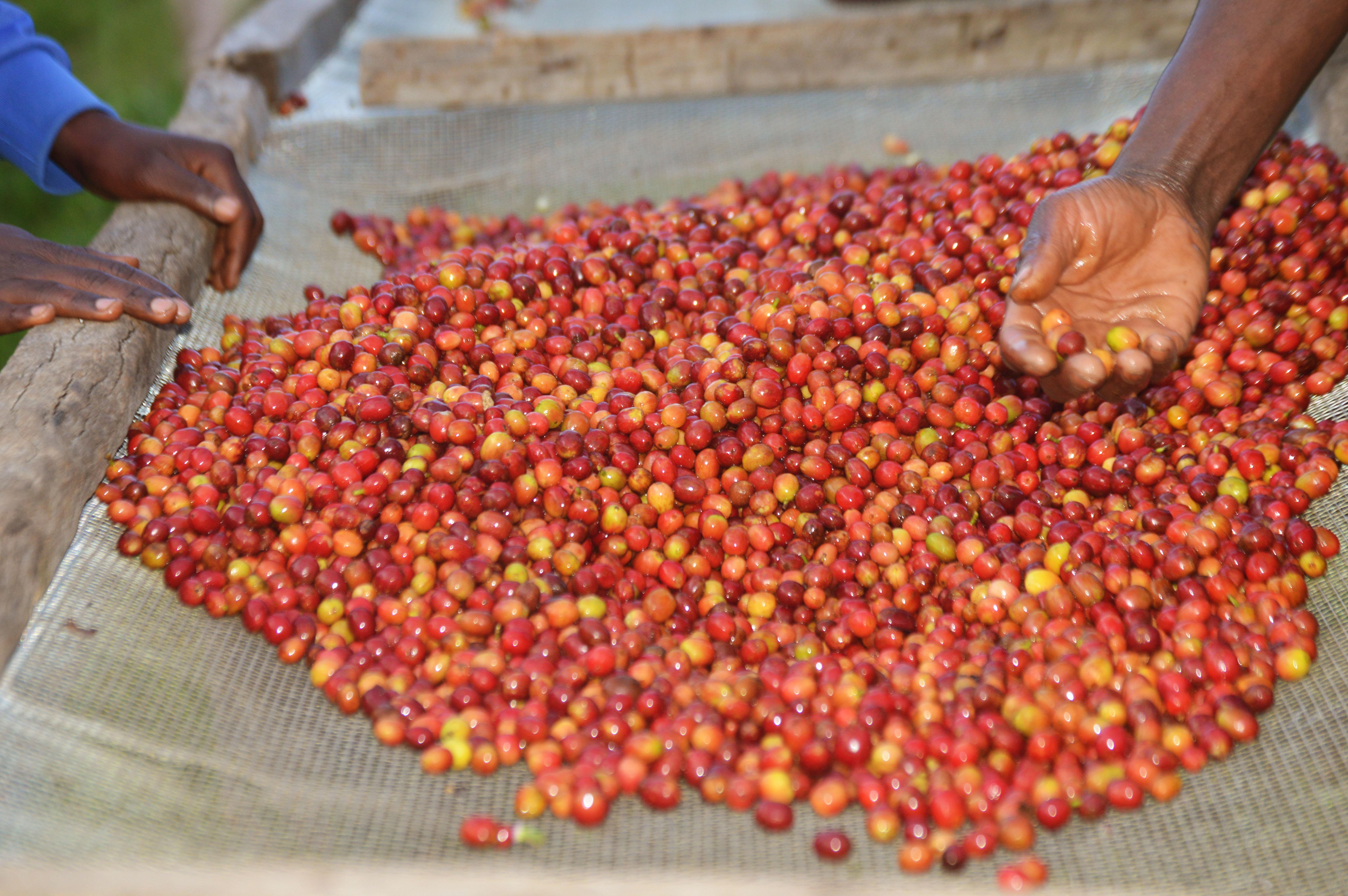 JNP-coffees-Burundi-Microlots-4