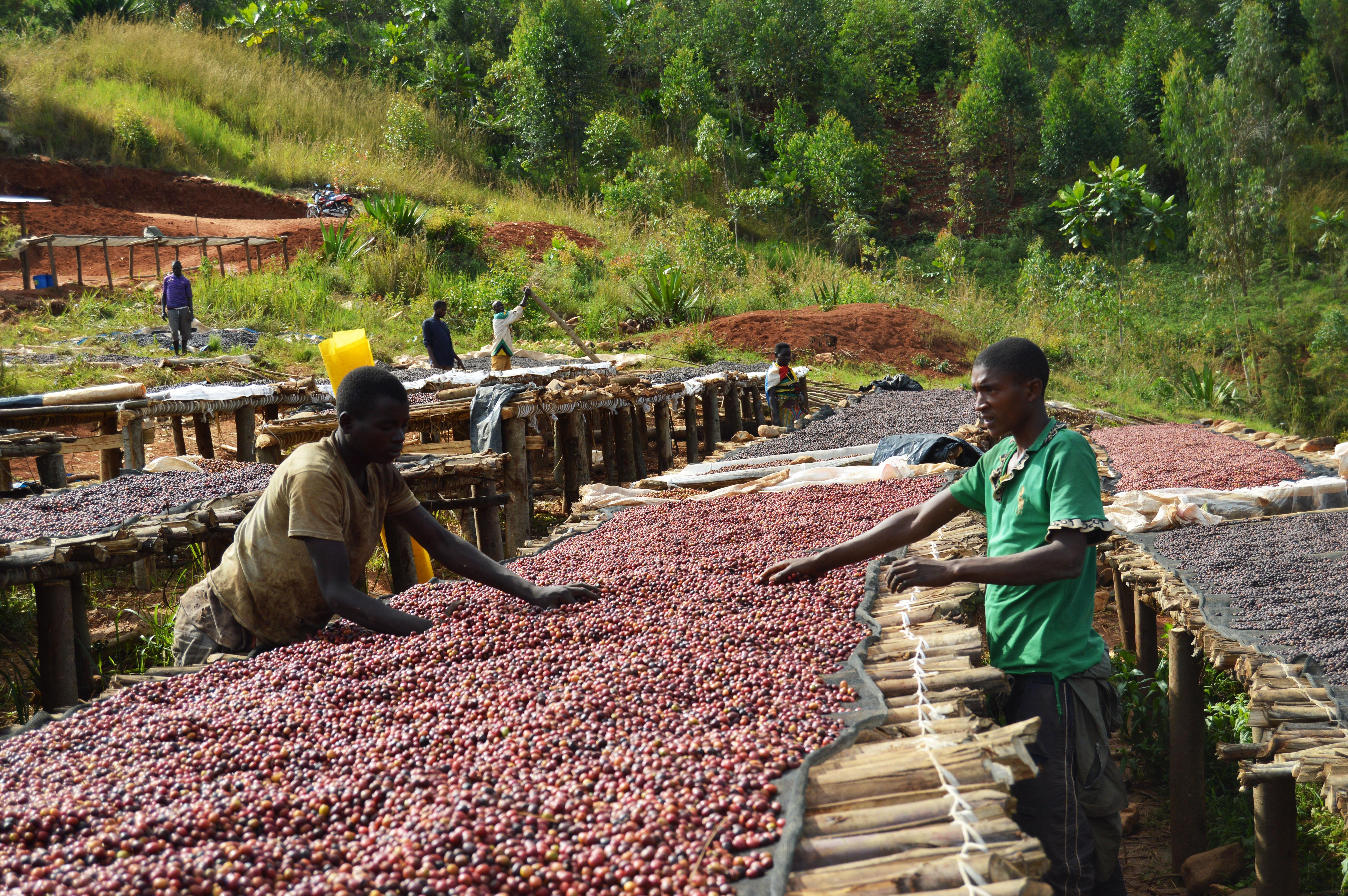 JNP-coffees-Burundi-Microlots-7