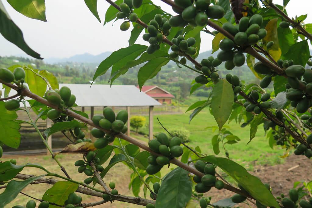 Rwanda_Sholi_04