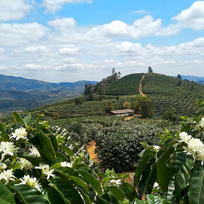 coffee-flower-fazendas-dutra